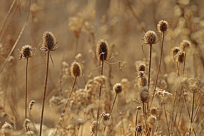 Wintered Teasels Poster by Jim Nelson