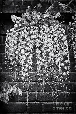 Wisteria Floribunda Kuchi Beni  Poster by Tim Gainey
