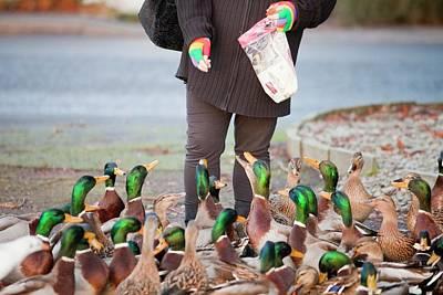 Woman Feeding Mallard Ducks Poster by Ashley Cooper