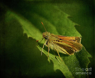 Woodland Skipper Butterfly Poster by Cindi Ressler