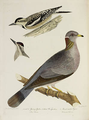 Woodpeckers And Pigeon Poster by British Library