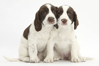 Working English Springer Spaniel Puppies Poster by Mark Taylor