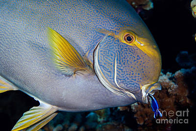 Wrasse Cleaning Surgeonfish Poster by David Fleetham