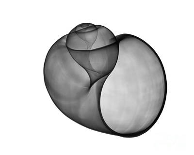 X-ray Of Florida Apple Snail Poster by Bert Myers