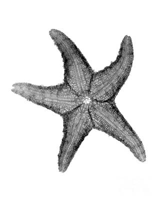 X-ray Of Starfish Poster by Bert Myers