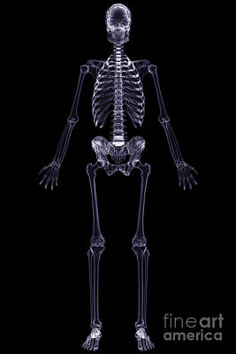 X-ray Skeleton Poster by Science Picture Co