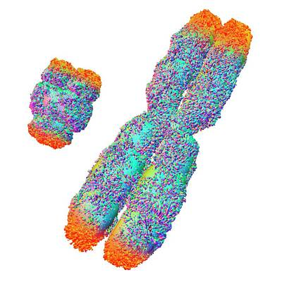 Y And X Chromosome With Telomeres Poster by Alfred Pasieka