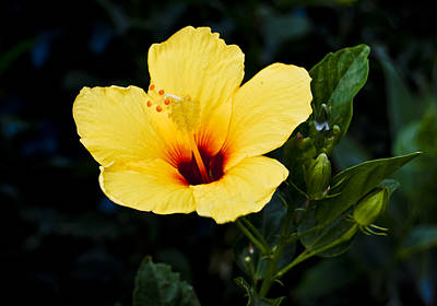 Yellow And Red Hibiscus Poster by Christi Kraft