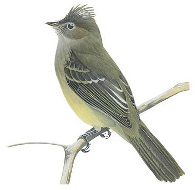 Yellow Bellied Elaenia  Poster by Anonymous