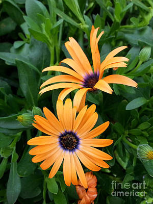 Yellow Cape Daisy Poster by Diane E Berry