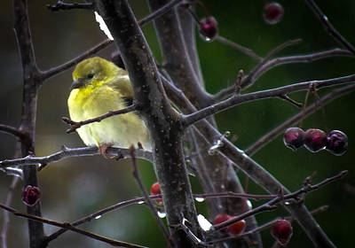Yellow Finch Poster by Karen Wiles