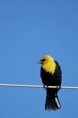 Yellow-headed Blackbird (xanthocephalus Poster by Richard and Susan Day