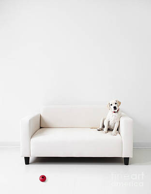 Yellow Lab In A White Room Poster by Diane Diederich