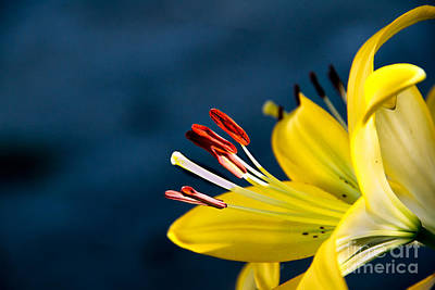 Yellow Lily Stamens Poster by Robert Bales