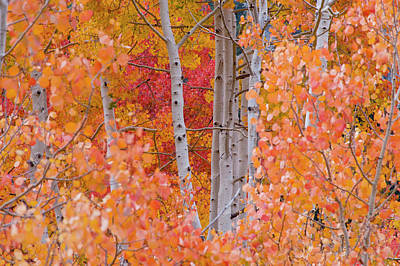 Yellow, Orange, And Red Aspens, Little Poster by Howie Garber