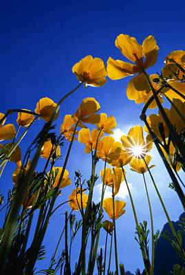 Yellow Poppies Stylophorum Diphyllum Poster by Natural Selection John Reddy