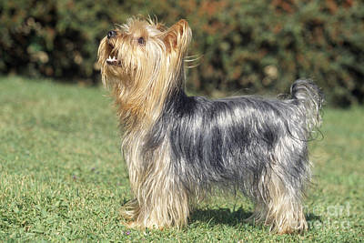 Yorkshire Terrier Dog Poster by M. Watson