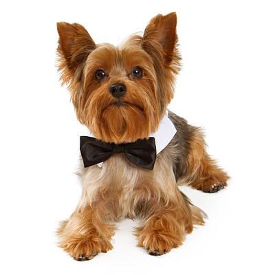 Yorkshire Terrier Dog With Black Tie Poster by Susan Schmitz
