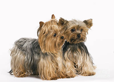 Yorkshire Terrier Dogs Poster by Jean-Michel Labat