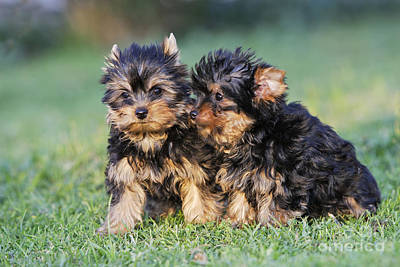 Yorkshire Terrier Puppies Poster by M. Watson