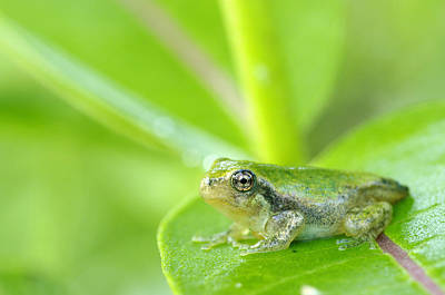 Young Gray Tree Frog On Leaf Les Poster by Steeve Marcoux