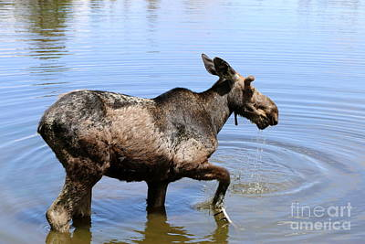 Young Moose Poster by Christiane Schulze Art And Photography