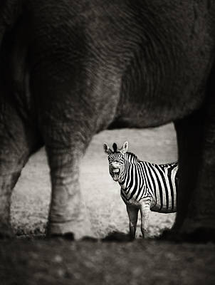 Zebra Barking Poster by Johan Swanepoel