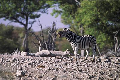 Zebra Braying Poster by Stefan Carpenter