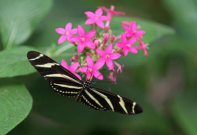 Zebra Heliconian Butterfly Poster by Juergen Roth