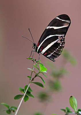 Zebra Longwing Butterfly  Poster by Juergen Roth