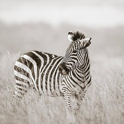 Zebra Masai Mara Kenya Poster by Regina Mueller