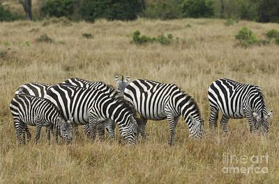 Zebra On Masai Mara Plains Poster by John Shaw