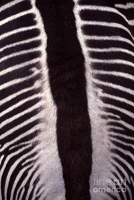 Zebra Stripes Closeup Poster by Anna Lisa Yoder