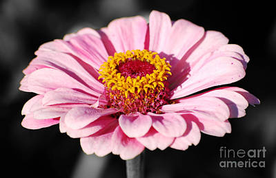 Zinnia Pink Flower Floral Decor Macro Color Splash Black And White Digital Art Poster by Shawn O'Brien