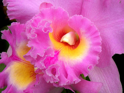 Cattleya Orchid 1 Poster by Julie Palencia
