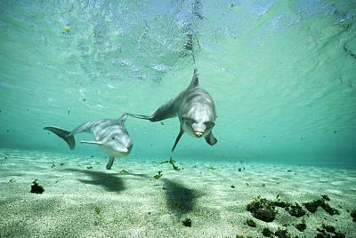 Bottlenose Dolphin Pair Hawaii Poster by Flip Nicklin