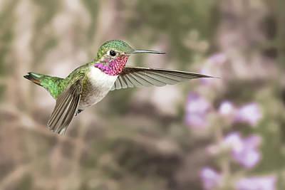 Broadtail Hummingbird In Flight Poster by Gregory Scott