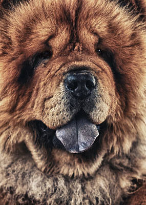 Chow Chow  Poster by Stelios Kleanthous