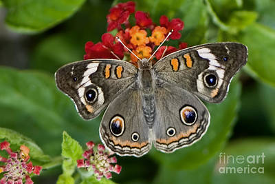 Common Buckeye Butterfly Poster by Betty LaRue