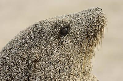Galapagos Sea Lion Zalophus Wollebaeki Poster by Pete Oxford
