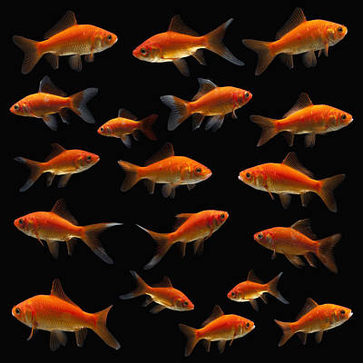 Goldfish Poster by Mike Kemp