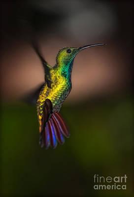 Green Breasted Mango Hummingbird Poster by Doug Sturgess