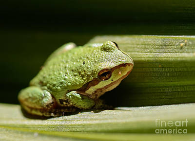 Green Frog Poster by Mitch Shindelbower