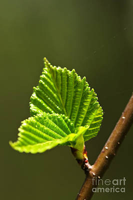 Green Spring Leaves Poster by Elena Elisseeva