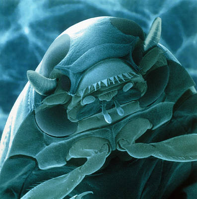 Head Of A Whirligig Beetle, Sem Poster by Power And Syred