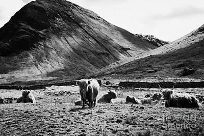 Herd Of Red Highland Cattle Glencoe Highlands Scotland Uk Poster by Joe Fox