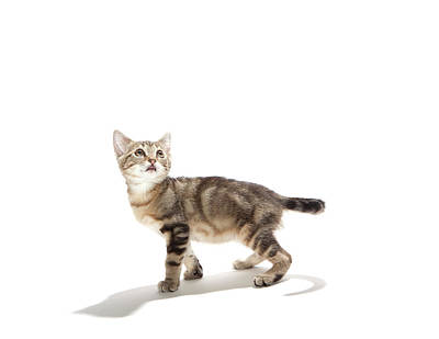 Kitten On White Background Poster by Diane Collins and Jordan Hollender
