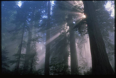 Light Coming Through Redwood Trees. Poster by Kaj R. Svensson