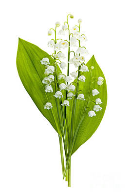Lily-of-the-valley Flowers Poster by Elena Elisseeva