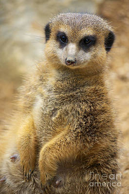 Meerkat Poster by Angela Doelling AD DESIGN Photo and PhotoArt